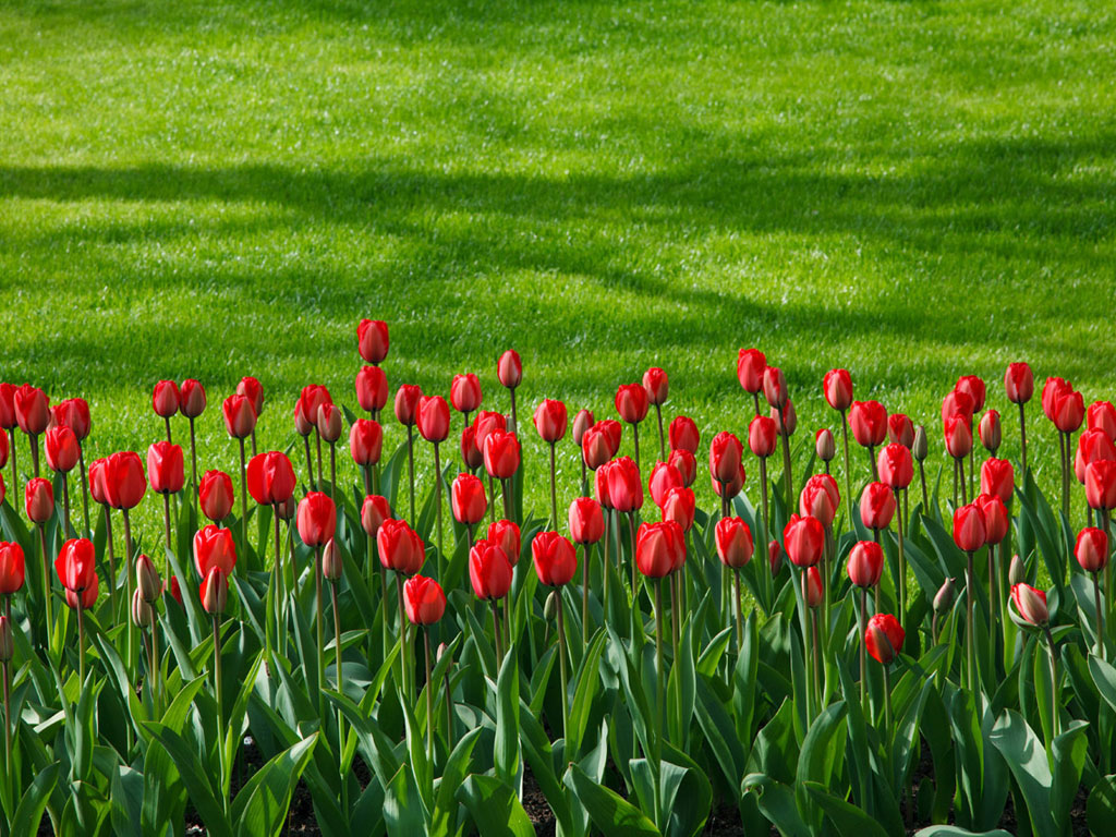 Red_Tulip_large