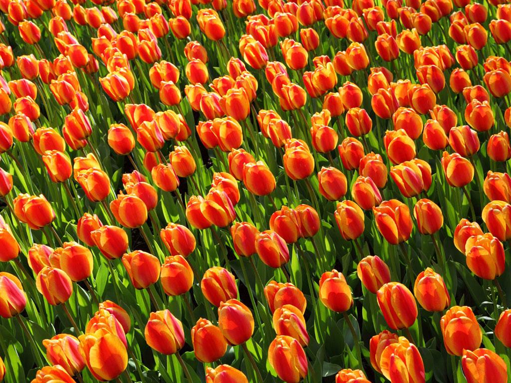 Tulip_large